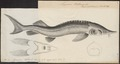 Acipenser ruthenus - 1700-1880 - Print - Iconographia Zoologica - Special Collections University of Amsterdam - UBA01 IZ14400011.tif