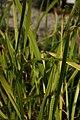Acorus-calamus-foliage.jpg