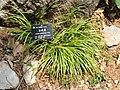 Acorus gramineus - Kunming Botanical Garden - DSC02990.JPG