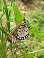 Acraea violae - Tawny Coster - Ovipositing at Peravoor 03.jpg