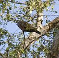 Adamawa Turtle-dove (Streptopelia hypopyrrha) among the leaves.jpg