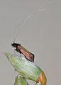 Adela cuprella m1.jpg
