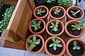 Adenium seedlings in terracotta pots.jpg