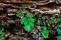Adiantum capillus-veneris from Hanging Garden Trail.jpg
