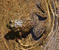 Adirondacks - American bullfrog - 3.JPG