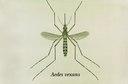 Aedes vexans.tif