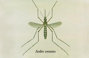 Aedimorphus vexans, früherer Name Aedes vexans