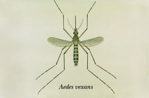 Aedimorphus vexans, früherer Name Aedes vexans
