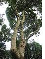 Aegiphila ferruginea 2.jpg