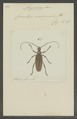 Aegosoma - Print - Iconographia Zoologica - Special Collections University of Amsterdam - UBAINV0274 032 05 0007.tif