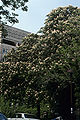 Aesculus hippocastaneum WPC.jpg