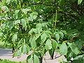 Aesculus parviflora1.jpg