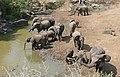 African Elephants (Loxodonta africana) at Mphafa waterhole ... (31495603043).jpg