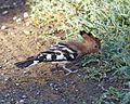 African Hoopoe (Upupa africana).jpg