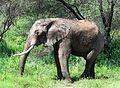 African elephant 2007.jpg
