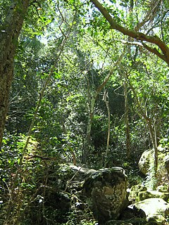 Southern Afrotemperate Forest Main indigenous forest-type in the south-western part of South Africa