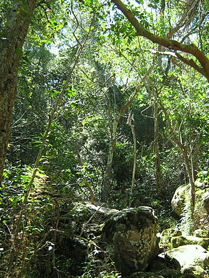 Southern Afrotemperate Forest - Southern Afrotemperate Forest growing on the eastern slopes of Table Mountain