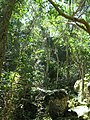 Afrotemperate indigenous woodland at Newlands Cape Town 3.jpg