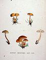 Agaricus amianthinus — Flora Batava — Volume v20.jpg