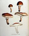 Agaricus robustus — Flora Batava — Volume v16.jpg