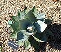 Agave titanota - San Francisco Botanical Garden - DSC09795.JPG