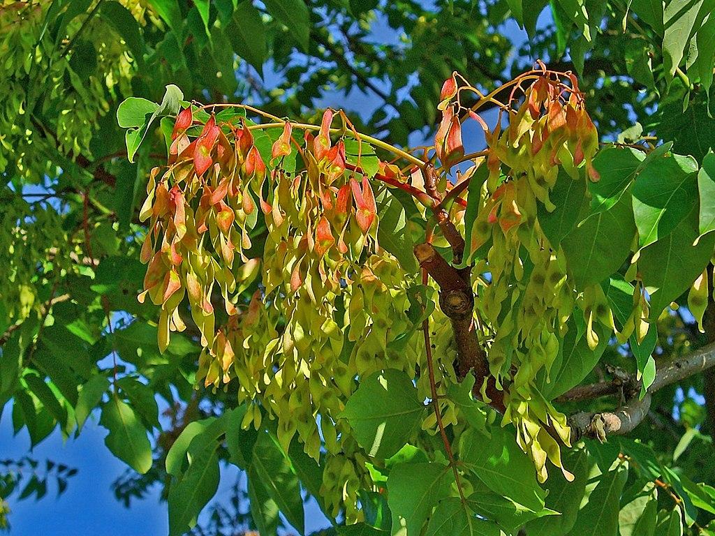 Pajaseň žliazkatý - plody