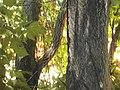 Ailanthusbark001.jpg