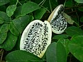 Akebia quinata (fruits).jpg