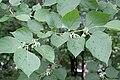 Alangium chinensis floraison2.jpg