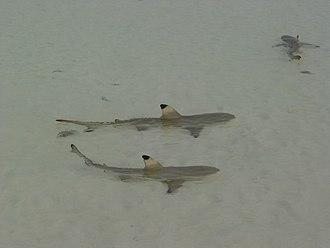 Aldabra - Blacktip reef sharks (Carcharhinus melanopterus)
