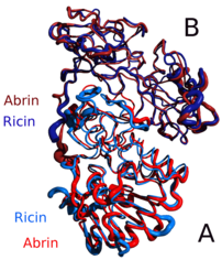 a comparison of the similar structures of abrin-a (red) and ricin (blue)