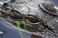 Alligator (6893889089).jpg