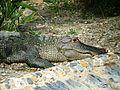 Alligator - Jardin d'essai - El hamma - Alger.JPG