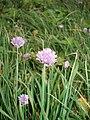 Allium schoenoprasum 01.JPG