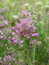 Allium thunbergii1