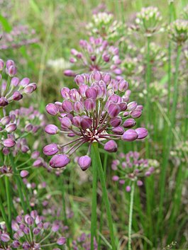 Allium thunbergii1.jpg