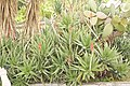 Aloe arboresences (Monreale) 1641.jpg