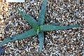 Aloe sinkatana 2zz.jpg
