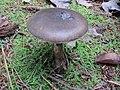 Amanita porphyria 13076370.jpg