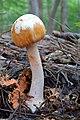 Amanita roseotincta (Murrill) Murrill 750731.jpg