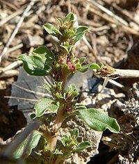 Amaranthus albus 3.jpg