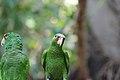 Amazona albifrons - Tiergarten Schönbrunn 2.jpg