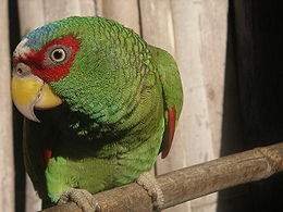 Amazona albifrons -pet in Mexico-8a.jpg