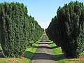 An avenue of yew trees, Cannington Cemetery - geograph.org.uk - 1373419.jpg