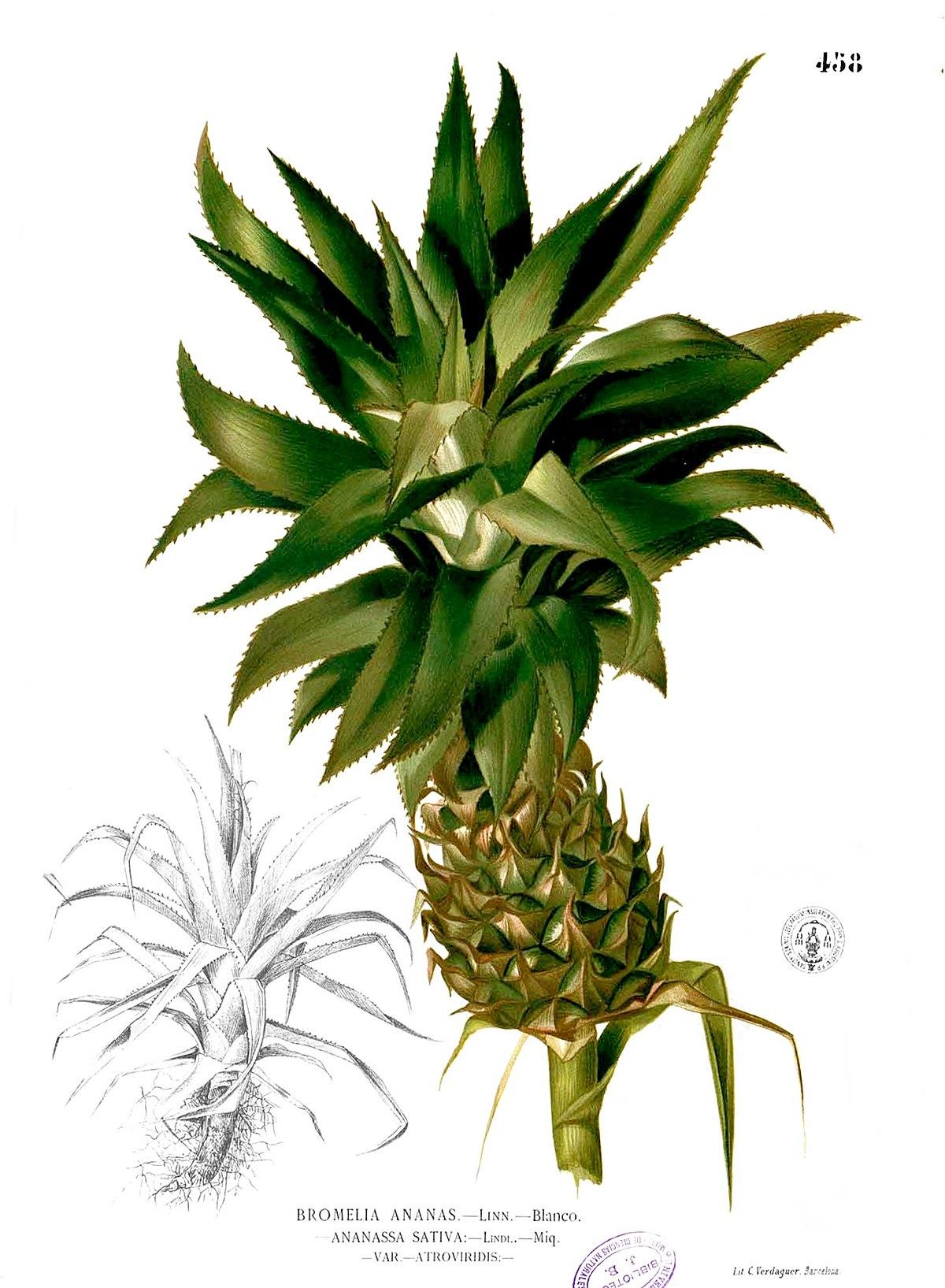 Ananas comosus wikipedia la enciclopedia libre for Arbol con raices y frutos