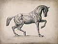 Anatomical engraving of a horse. Wellcome V0016883.jpg