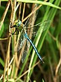 Anax imperator posada - The Emperor Dragonfly or Blue Emperor (5080001845).jpg