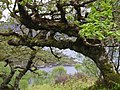 Ancient oakwoods at Glenborrodale, by Loch Sunart - geograph.org.uk - 210984.jpg