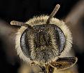 Andrena krigiana, female, face 2012-08-06-18.17.39 ZS PMax (8113259011).jpg