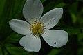 Anemone canadensis closeup.jpg